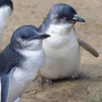 penguins-phillip-island